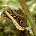 Una farfalla morpho (quando apre le ali è completamente blu)