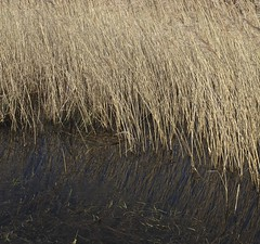 Wintering in water (anthonyfalla) Tags: winter brown black reflection water grass grasses winterplants