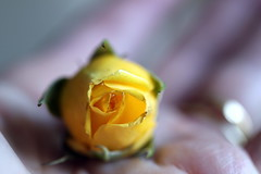 A Flower in My Hand... (Stephanie'sBestShots) Tags: macro rose yellow soft tiny bud simplybeautiful