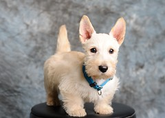 Bruce Lee (`Mark&Manna Photography) Tags: bruce scottie brucelee scottishterrier marknmanna thebiggestgroup fifthyip