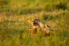African Lion cubs playing early morning, Masai Mara, Kenya, East Africa (Andrew Sproule Photography) Tags: africa wild playing nature wet grass animal female digital cat mammal outdoors photo feline adult natural image kenya african wildlife lion young picture nobody pic nopeople mature bigcat photograph cubs copyspace fighting predator relaxed grassland lioness carnivore bigfive masaimara big5 riftvalley carnivora meateater pantheraleo africanwildlife maasimara marshpride bbcbigcatdiary andrewsproule
