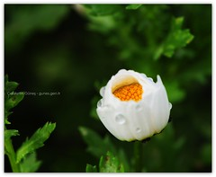 """Small is bautiful "" F.Schumacher (Celalettin Gne) Tags: flowers color macro green nature beautiful leaves rose closeup turkey garden nikon trkiye lila turquie trkorszg trkei tulip sheet gl bahe makro turqua turchia iek yeil gzel  tirkiye turkei turcja lale  renk yaprak tabiat renkler  turki fidan evre zambak  yaknekim eflatun   celalettingne wwwgunesgentr wwwgnegentr"