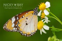 Plain Tiger - DSC_5659 (nickybay) Tags: macro butterfly singapore tiger plain pulauubin