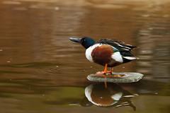 Male Shoveler. (nivek8) Tags: colour nature wildlife waterbird pensthorpe