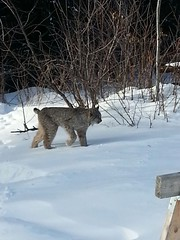 Lnyx in the Yard (Blu, Enid) Tags: winter wildlife lynx redlake
