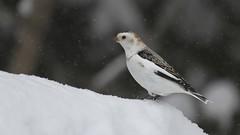 Snow Bunting (Digital Rebels) Tags: winter snow bird timmins snowbunting herseylake