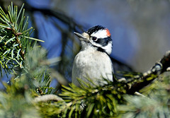 Male Downy  Woodpecker in an Evergreen (AcrylicArtist) Tags: bird birds woodpecker downywoodpecker michigan evergreen spruce sprucetree