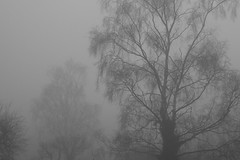 Tree bones (Matt West) Tags: trees winter mist fog grey woods haiku pale whitwick phoku