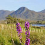 "Purple Loosestrife, Derryinver <a style=""margin-left:10px; font-size:0.8em;"" href=""http://www.flickr.com/photos/89335711@N00/8596723626/"" target=""_blank"">@flickr</a>"