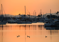 Grebes in the Harbour (Tim Melling) Tags: san diego western grebe aechmophorusoccidentalis timmelling