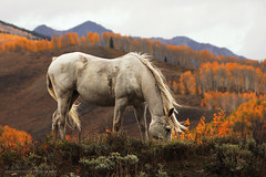 White Horse (b_mccarley) Tags: horses horse white mountains fall grey colorado colorful butte seasons co aspens rockymountains aspen majestic crested equine crestedbutte gunnison aspentrees fleabit