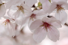 sakura  (eyawlk60) Tags: flowers favorite flower japan canon cherry eos spring bloom  cherryblossom 5d osaka         flickraward   gettyimagesjapan13q1 gettyimagesjapan13q2