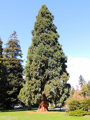 Lebanese Cedar (knightbefore_99) Tags: canada tree green giant bc lawn sunny cedar stanleypark tall lebanese vancouvercity