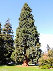 Lebanese Cedar (knightbefore_99) Tags: canada tree green giant bc lawn sunny cedar stanleypark tall lebanese vancouvercity