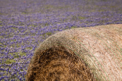 Hay Bale In Blue (Mabry Campbell) Tags: flowers blue usa nature field photography march countryside us photo spring texas photographer unitedstates image tx 100mm photograph 100 wildflowers hay f80 wildflower bluebonnets haybale navasota brazoscounty 2013 unitesstatesofamerica sec ef100mmf28lmacroisusm mabrycampbell march242013 20130324img2594