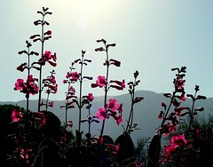 Penstemons & mountains (jimsc) Tags: morning pink arizona plant flower rose yard spring flora desert tucson blossom bloom backlit penstemon wildflower sonorandesert sonydscf707 pimacounty