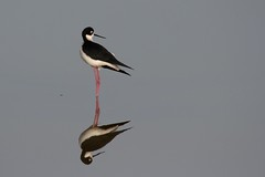 california bird canon marsh t4i donedwardsnationalwildliferefuge blackneckedstilit