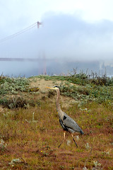 Great Blue Heron - San Francisco (Howard_Pulling) Tags: sf sanfrancisco california camera morning blue usa bird heron birds america photo nikon great hunting picture ardea american goldengate prey sa greatblueheron herons herodias ardeaherodias thewonderfulworldofbirds hpulling howardpulling d5100 nikond5100