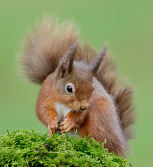 Red Squirrel  Sciurus vulgaris (Iain Leach) Tags: mammal rodent image wildlife photograph redsquirrel sciurusvulgaris birdphotography omnivore wildlifephotography
