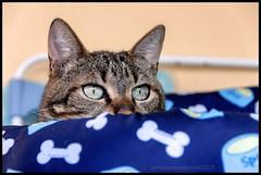 Zozò cuccia. (RoLiXiA) Tags: sardegna portrait cat chat sardinia felino gatto ritratto micio sardaigne cerdeña feliscatus cuccia gattoeuropeo nikond90