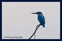 Common Kingfisher (Alcedo atthis) (maheshgarg19) Tags: blue india bird king indian kingfisher perch common chandigarh commonkingfisher alcedo atthis rofous