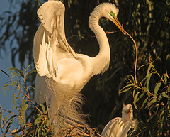 Something for the House (cetch1) Tags: nature birds egret greategret rookery nesting nests ardeaalba breedingplumage matingbehavior northerncaliforniawildlife ninthstreetrookery