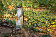 IMG_9040 (Deepthi Ghalke) Tags: trees nature animal forest squirel