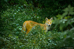 The Coyote (davidkoiter) Tags: coyote autumn wild ontario david fall animal forest canon eos kitchener 7d l series 70200 stalk f4 f4l koiter davidkoiter