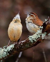 Singing Duet (Bob the Birdman and All Around Nature Guy) Tags: bird nature wildlife wren carolinawren thryothorusludovicianus naturetreasures courtingpair robertmiesner bobthebirdman