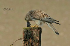 Kestrel (Female) Falco tinnunculus Explore 22 April #362 (Col-page) Tags: