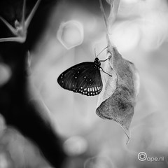 Within a dream (Oape) Tags: light bw nature animal fauna butterfly zoo dof bokeh dier emmen dierentuin dierenparkemmen
