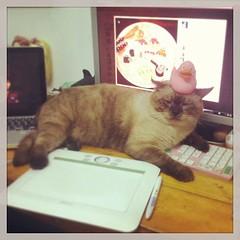 มาทับคีย์บอร์ดเค้าดีนัก แกล้งเลย #plawarn #siamese #cat