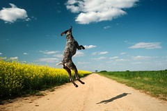 Weekend Ahoy! (MilkaWay) Tags: birddog tessa fields dirtroad gsp countryroad canola rapeseed germanshorthairedpointer 4yearsold rapsfeld yellowfield bostwick morgancounty ruralgeorgia