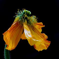 fin (1D110) Tags: macro fleur horizontal eau noir coke grand lausanne histoire bertrand couleur fond gros jeu monney longue romandie fleure 1d110