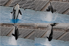Shouka (EchoBeluga) Tags: california training san diego killer whale orca seaworld shamu shouka