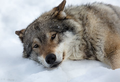 Wolf relaxing time (nemi1968) Tags: wild portrait snow closeup canon fur nose eyes wolf ngc relaxing ears lazy npc wolves langedrag ef100400mmf4556lisusm wildwolf wolfportrait