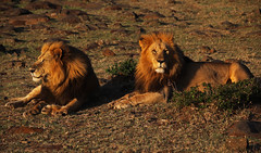 Our Land (Kevin Hughes 348) Tags: feline kenya wildlife lion safari bigcats carnivores predators pantheraleo kevinhughes mygearandme photographyforrecreation pantheraleodawn