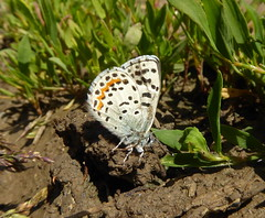Rocky Mountain Dotted Blue, Euphilotes ancilla ancilla (vietnamvera) Tags: butterflies canadaflorafauna canadianlepidoptera canadianbutterflies canadianrockymountains rocky mountain dotted blue euphiotesancillaancilla