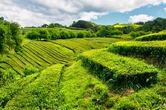 Cha Gorreana. Azores (thaisa1980) Tags: 2016 azores chá gorreana sanmiguel sãomiguel cultivo farming green plantación plantation te tea verde