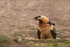 Quebra-ossos, Bearded vulture (Gypaetus barbatus) (xanirish) Tags: quebraossos beardedvulturegypaetusbarbatusemliberdadewildlifenunoxavierlopesmoreira gypaetusbarbatus beardedvulture lammergeier