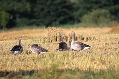 Greylag (themadbirdlady) Tags: anatidae anseriformes anseranser greylag goose geese haughsofairth