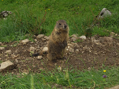 Did you bring anything for me? (aniko e) Tags: mammals europe germany mountains alps murmeltier marmot sciuridae xerinae squirrels alpinemarmot mormota hiking outdoors wild family maroldschneid bavaria bayern ruins burrows marmotamarmota
