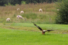Red kite and sheep (diedintragedy) Tags: redkite crows birdsofprey flyingbirds birds kites endangeredbirds gigrinfarm rhayader sheep wales powys animals eatingbirds
