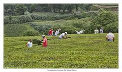 Tea plantation in Porto Formoso, So Miguel Azores (wk4ever) Tags: tea thee teaplantation
