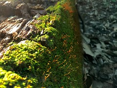 Growing down a fallen tree (mikeliebler222) Tags: down falling growing patches mountain mountains trees orang green glowing glow rot rotting bark tree old moss