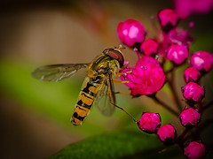 Enjoying a tasty snack (Superali007) Tags: canon canon7d ef100mmf28lisusmmacro macro hoverfly nature insect scotland scottish hovering pink red wings episyrphusbalteatus