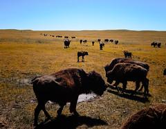 Buffalo on the Wyoming Prairie (` Toshio ') Tags: toshio buffalo animal mammal prairie wyoming west oldwest herd fujixe2 xe2 grass
