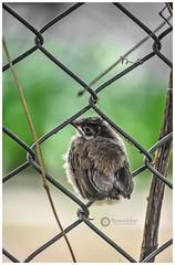 Baby bird of Red whiskered bulbul (Ramalakshmi Rajan) Tags: birds bird bulbul nikond5000 nikkor55200mm nikon inmygarden