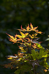 Change is Coming (cjh44) Tags: japanesemaple garden home sunlight afternoon