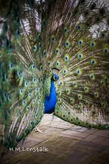 L1154871 (H.M.Lentalk) Tags: peacock bird leica m9 summilux 50mm f14 oz aussie street australia australian sydney summiluxm 50 14